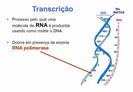 Transcrição, replicação e tradução (síntese de proteínas) - Resumo