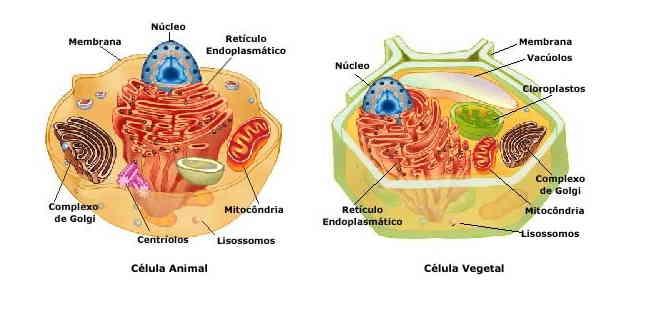 Célula animal (à esquerda) e célula vegetal (à direita)