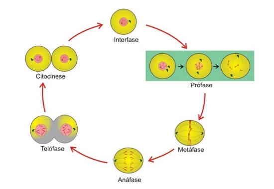 Esquema representando o processo de mitose