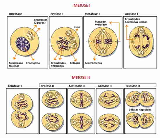 divisão celular Meiose I e Meiose II