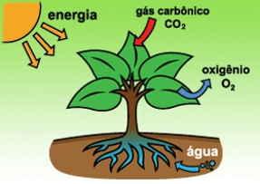 fase enzimática fase fotoquímica